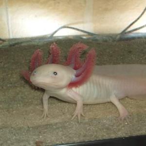 Axolotl et son aquarium 80L