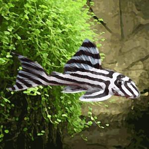 L046 hypancistrus zebra (environ 4 cm)