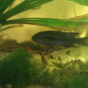 vente melanochromis cyaneorhabdos adulte