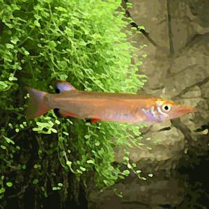 Nomorhamphus liemi (environ 5 cm)