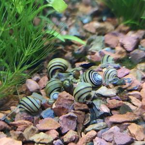 Escargots mangeurs d'hydres - Asolene spixi