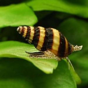 Escargots Anentome - Helena (Mangeur d'escargot)