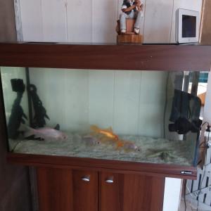 aquarium +poissons rouge