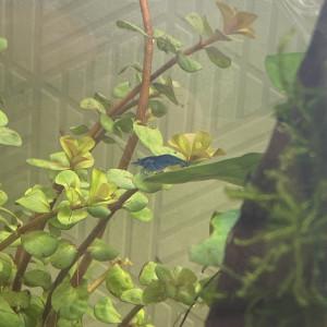 Crevette blue velvet
