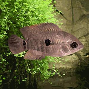 Cichlasoma  sp.black point (environ 5 cm)
