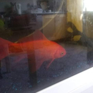 Dons poissons rouge