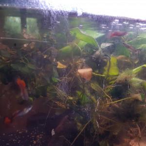 Donne guppys, aquarium, matériel