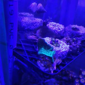 Pavona Cactus