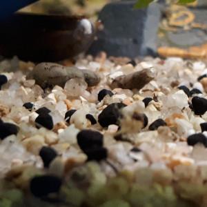 Escargot malais