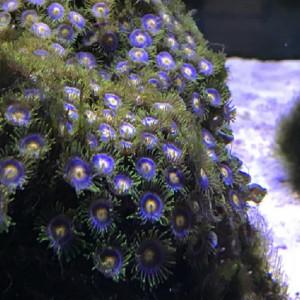 zoanthus ultra