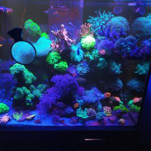 Vend corail