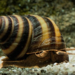 taia naticoide (piano snail)