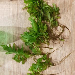 ceratopteris cornuta, lentilles d'eau et mousse de java