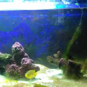 poisson marin pomacentrus moluccensis
