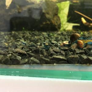 Lot de 10+2 crevettes Blue velvet