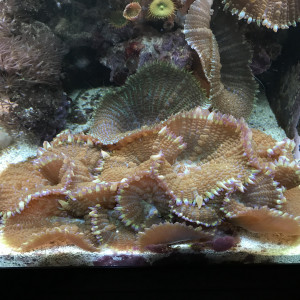 coraux mous / ricordea