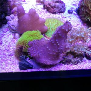 Boutures coraux mous