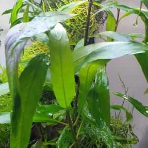 vends plantes aquarium et/ou paludarium