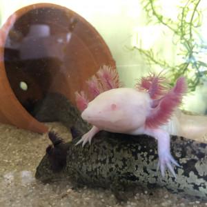Vends jeunes Axolotl