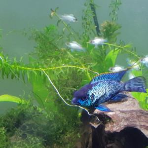 Andinoacara pulcher bleu electrique