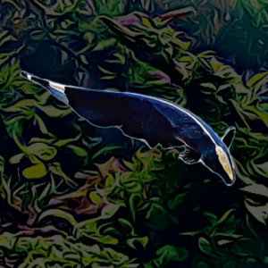 Apteronotus albifrons 6 cm