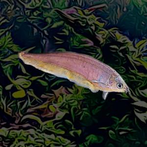 Xenomystus nigri couteau (10 à 12 cm)