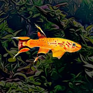 Aphyosemion austral gold (environ 4 cm)