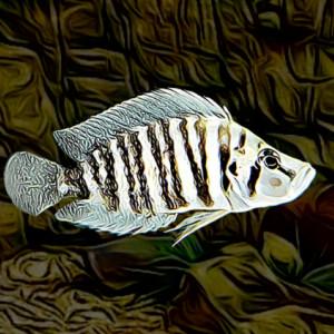 Lamprologus compressiceps congo coast (environ 5 cm)