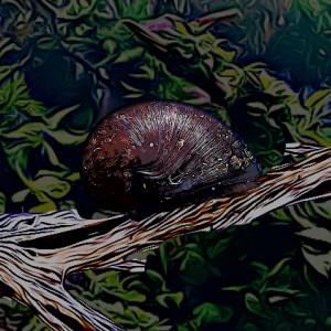 Escargot abalone