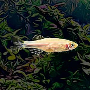 Danio gold (environ 4 cm)