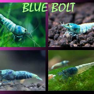 Lot 15 crevettes / BLUE BOLT /pour 30 €