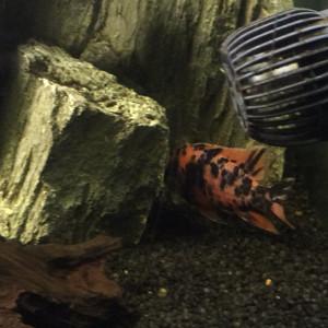 Aulonocara Marmelade mâle