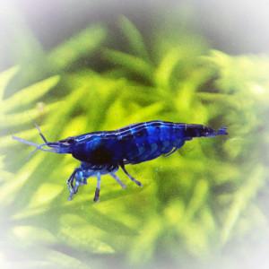 Néocaridina Blue Velvet