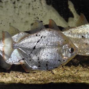 Métynis (Dollar Fish).