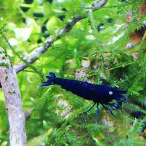 Crevettes tiger blue royal