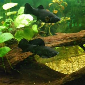 Black mollys plusieurs tailles