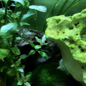 Crevettes déclassées