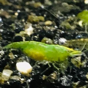 Vends crevettes neocaridina green jade