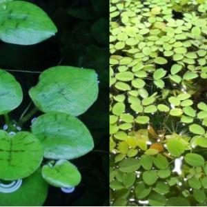 Plante flottante Limnobium laevi... et Salvinia auri...