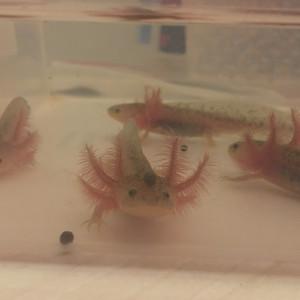 Bébés axolotls mélanique sauvages
