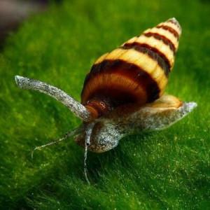 Mangeur d'escargots