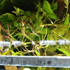 Donne pistia, ceratophylium, limnophilia, mousse de java