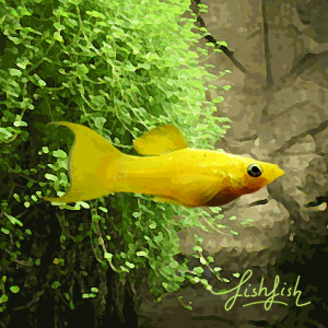 Molly jaune metallique lyre (environ 5 cm)