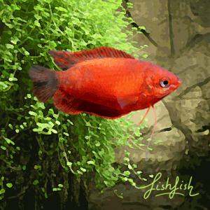 Colisa sota rouge (environ 4 cm)