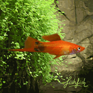 Xipho mickey rouge (environ 5 cm)