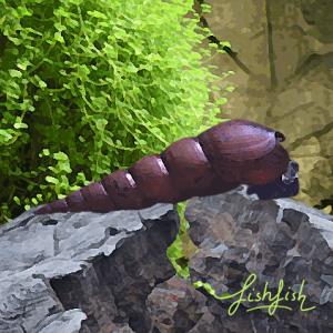 Escargot faunus ater (5 à 7 cm)