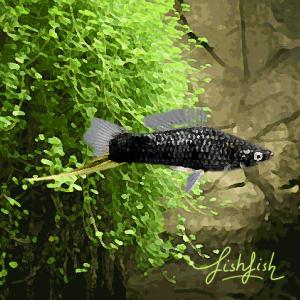 Xipho noir (environ 5 cm)