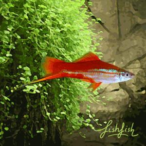 Xipho neon (environ 5 cm)