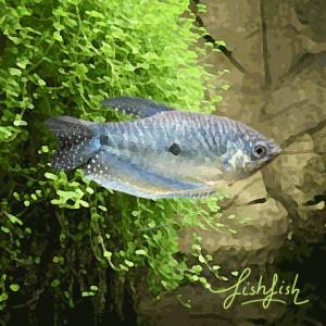 Gourami bleu (environ 7 cm)