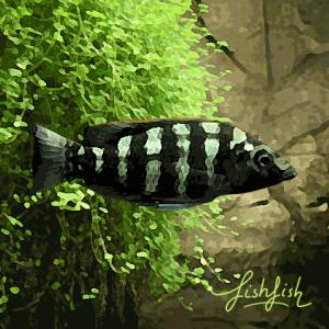 Haplochromis johnstoni (environ 5 cm)